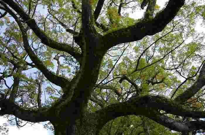 樹齢850年以上といわれる楠木は、幹が空洞になっているところを護摩木を持って通り抜けられるそうです。