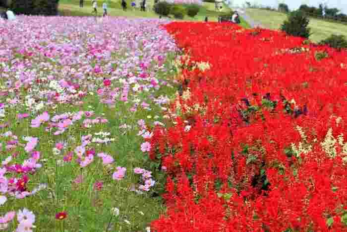 あわじ花さじきでは様々な花々が植栽されています。秋を彩る可憐な風物詩、コスモス畑のすぐ近くには深紅のダリアが咲き誇っており、壮麗な風景を臨むことができます。