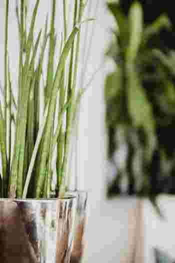 中型の観葉植物は、ほどほどの大きさで扱いやすく、そのまま床においてもサマになります。サンスベリアやアンスリウム、ストレリチアなど、シュッとした見た目のグリーンはモダンな雰囲気に。シンプルなインテリアにはもちろん、和室や玄関に飾るのもいいですね。