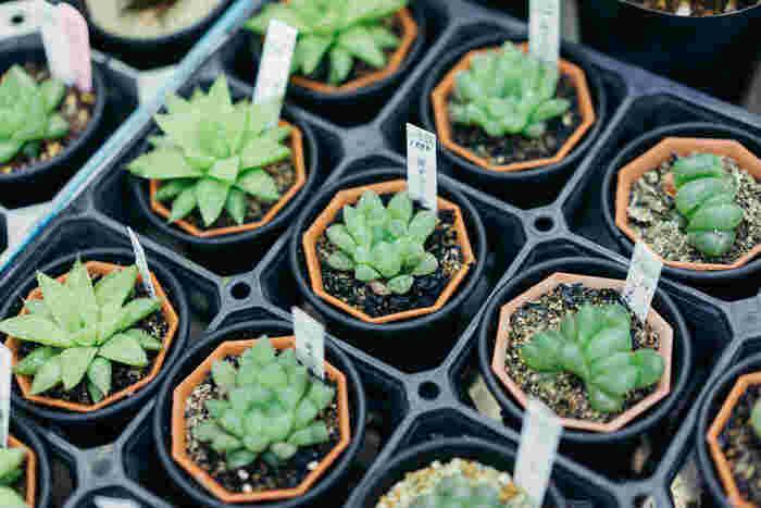 「ハオルチア(ハオルシア)」属は、やわらかい葉のタイプの「軟葉系」と、硬い葉のタイプの「硬葉系」の、大きく二つに分かれます。もともと岩陰に生育している植物のため、直射日光ではなく間接的な光を好み、そのため、室内向けのインテリアプランツとして人気を博しています。こちらも生育期は「春秋型」です。