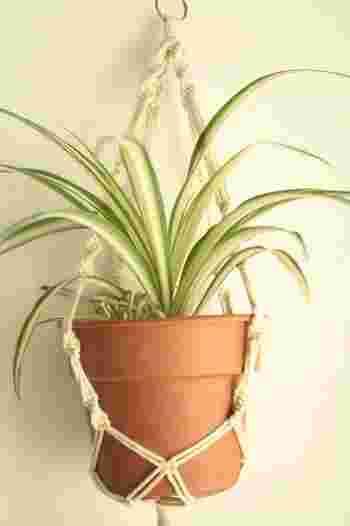 """細長い葉が特徴的な「オリヅルラン(折鶴蘭)」は南アフリカ原産の多年草植物。名前に""""ラン""""と付きますが、ラン科の植物ではなくユリ科に属する植物で、大変育てやすく観葉植物としても人気です。現在「オリヅルラン」の仲間は世界中に200種類ほどあると言われていています。"""