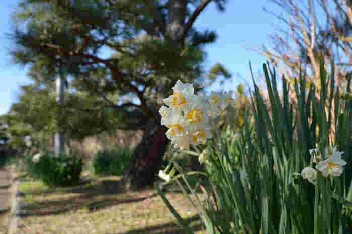 城ヶ島公園内には、10万株の八重咲水仙が植えられている花園もあります。水仙の開花時期は1月中旬から2月下旬なので、今がちょうど見ごろとなっています。まさに、水仙の開花は三浦半島の春の始まりです。 水仙の花が満開になる1月中旬ころになると、2週間ほど水仙まつりが開催されます。お祭りに合わせて公園を訪れるのもおすすめ!お祭りの期間中は地元の野菜や花の販売なども行われ、大勢の観光客で賑わいます。