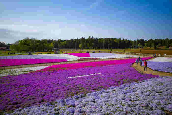 富田都市農業交流センターは、千葉市が運営している農業体験、収穫オーナー制度などが設けられている農業と人とをつなぐ交流施設です。施設の一部となっている富田さとにわ耕園では四季折々で季節の花々を鑑賞することができ、春になると一面の芝桜が訪れる人々を魅了します。
