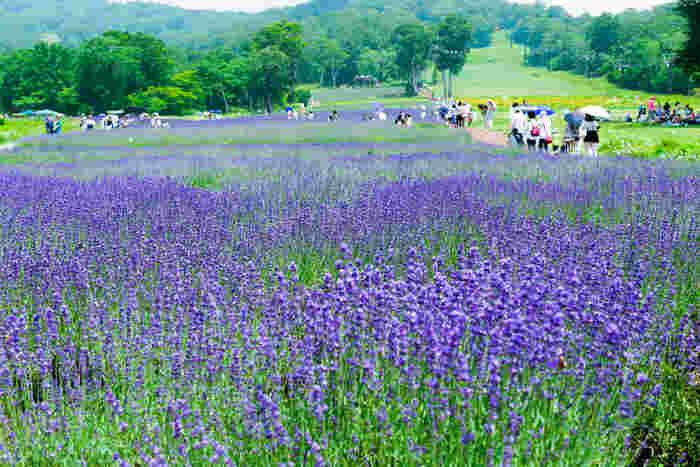 6月末から8月末は、紫色のラベンダー畑が一面に広がっています。色合いが涼しげで目でも楽しめます。風にのって広がるナチュラルな香りも清涼感があります。