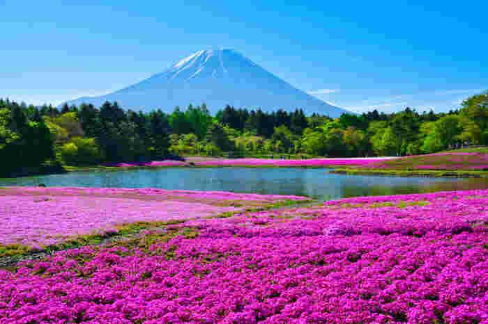 富士本栖湖リゾートで開催される「芝桜まつり」。富士山をバックに約80万株の色とりどりの芝桜を楽しめます。春の富士山周辺の観光でぜひ訪れたいスポット。