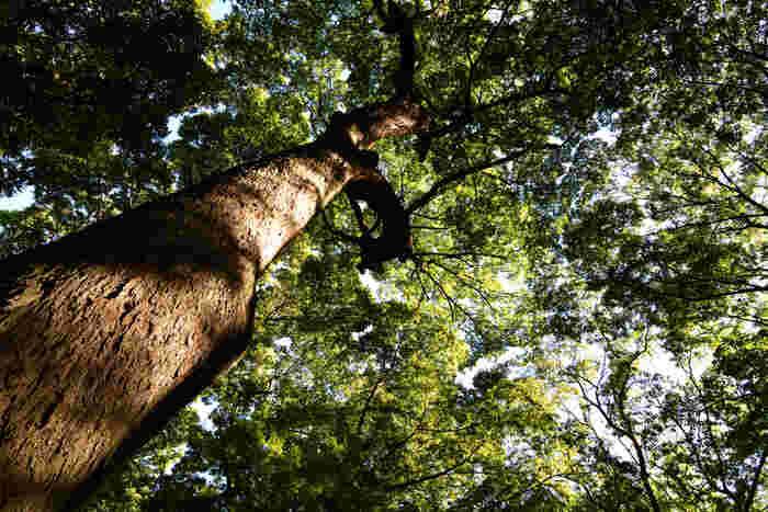 見上げると、天まで伸びそうな木々たち。神々が宿ると言われているこの森で、疲れた心と体をリフレッシュしてみませんか。下鴨神社につながるエリアとして賑わっているので、ゆったりとしたタイムスケジュールで訪問されるのがおすすめです。