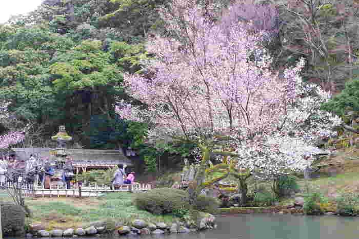 「日本さくら名所100選」の一つに選定されている兼六園は、桜の名所としても広く知られています。桜が見頃を迎える春になると大勢の花見客で賑わいます。