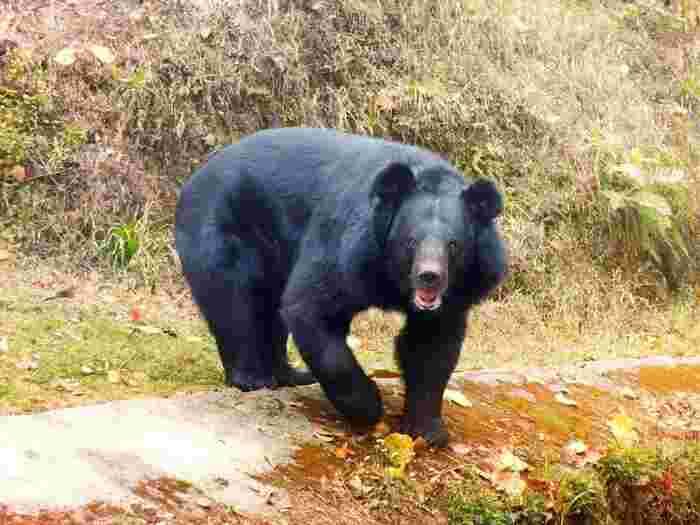 クマが冬眠するために、穴に入る時期。クマは小型の動物とは異なり冬眠中は中途覚醒や、排便・排尿もしないそうです。飼育されているクマは冬眠はしないのだとか。