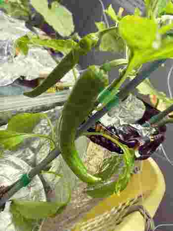 植物の生育に必要な液体肥料ですが、多ければいいと言うものでもありません。液体肥料によって、そして育てる植物によって使う量や比率が定められているので、しっかりチェックしたり計算したりして、適切な量を使用しましょう。