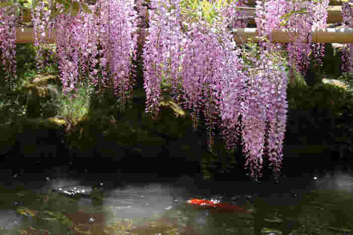 春日大社境内にある、萬葉植物園では四季折々で美しい花が咲きます。とりわけ、春日大社の社紋でもある藤の花の美しさは格別です。