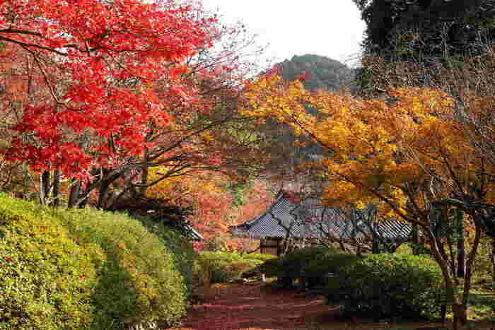 「関西花の寺二十五霊場第25番」としても知られている観心寺境内には、桜、梅、ツツジ、椿といった花々が植栽されています。また、「大阪みどりの百選」に選定されている観心寺では、モミジ、カエデなども植樹されており、晩秋になると境内は鮮やかに色に染まります。