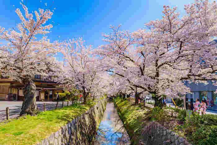 「日本の道100選」に選定されている哲学の道は、熊野若王子神社前から琵琶湖疎水沿いに南北に伸びる約1.5キロメートルの散歩道です。琵琶湖疎水の両岸には、約300本の桜が植樹されており、桜が開花する時季になると淡ピンク色のトンネルが現れます。