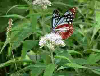 画像は旅する蝶「アサギマダラ」。初夏に見られます。