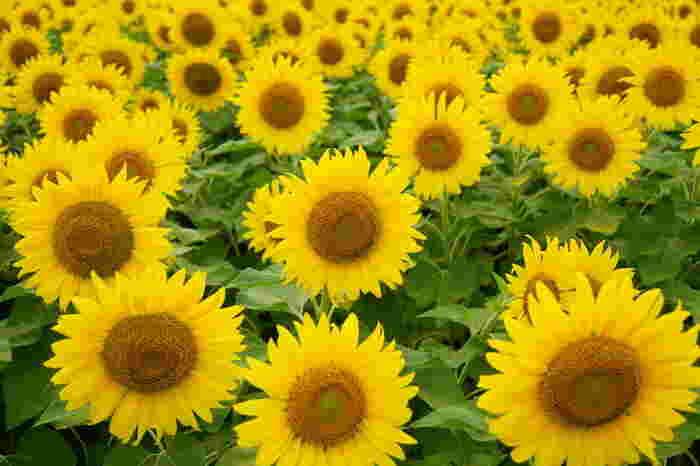 「座間市ひまわり畑」は市内に数カ所会場を設け、時期をずらして種をまいています。そのため長く楽しめるのも嬉しいところ。7月下旬から8月中旬まで、合計55万本のひまわりを楽しめます。