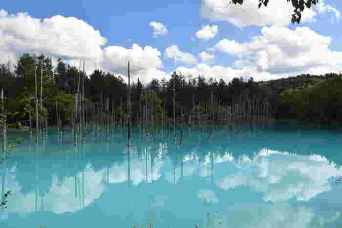 無数に並ぶ立ち枯れになったカラマツと、輝くように発色する青い水面が織りなす神秘的な景色を臨むことができる青い池は、美瑛町を代表する人気観光スポットです。青くに輝く水面は、天候や時間帯によって色を徐々に変化させてゆき、まさに奇跡のような絶景を堪能することができます。