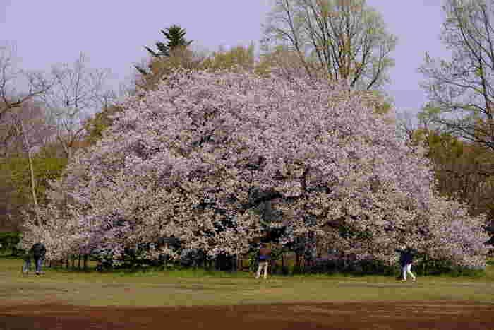 広大な敷地を誇る小金井公園ですが、大島桜の美しさは格別です。巨大な大島桜が満開に咲き誇る様は、春の訪れを私たちに告げているかのようです。