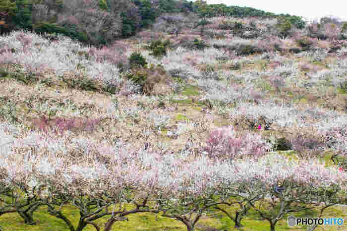 綾部山梅林は、一目で約2万本の梅が視界に入ってくる「一目二万本」と呼ばれる西日本随一の規模を誇る梅林です。