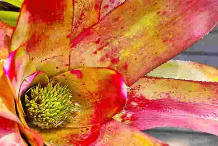 パイナップルの仲間・ネオレゲリアの花は真夏に開花。