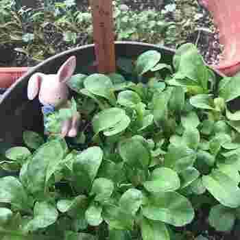 ルッコラは発芽率が高く、種からまいても育てやすいハーブ。種まきから1~2か月ほどたち、葉が10cmくらいになった頃が収穫時。時期をずらして種まきすると順次収穫できますよ。 若い葉の方がやわらかくて食べやすく、乾燥させすぎると苦味が強くなるので土の表面が乾いたら水やりを忘れないようにしましょう。