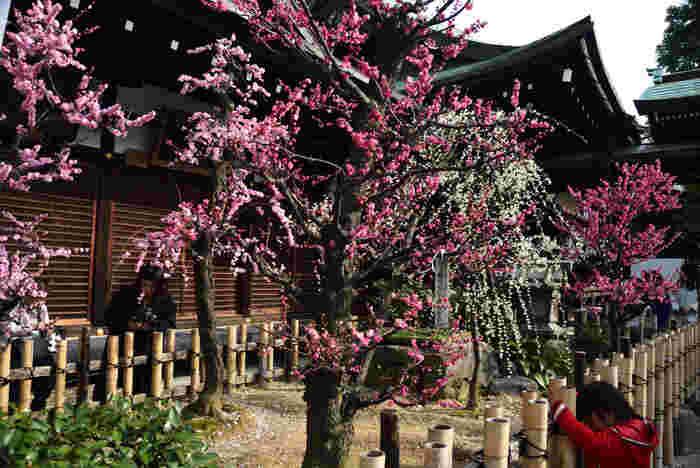 境内は桃色のカーテンに包まれたような風景が現れます。紅梅と白梅が競うように咲き誇る美しさは、参拝者を魅了してやみません。