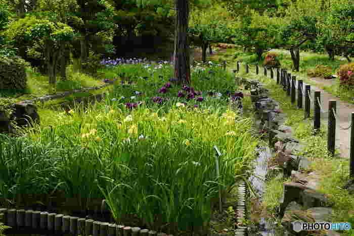 梅の名所として有名な水月公園は、毎年梅雨の時期になると花菖蒲が見頃を迎え、公園内に彩りを与えてくれます。