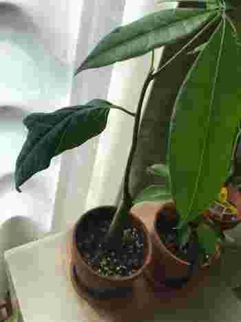 パキラの剪定は、生育がさかんになる前の5~6月頃に「切り戻し」という方法で行います。不要な枝を思いきって短く切りそろえ、木の内側まで日が当たるようにします。コツは、成長点を残すこと。新しい芽が出てくる部分がポコッと幹に出っ張っていますので、その先を切りましょう。