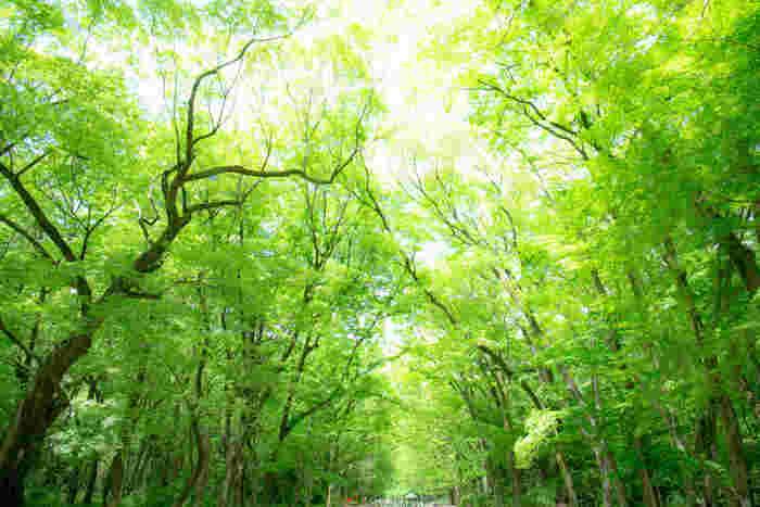 紀元前の書物に始源が記されているほどの歴史を持つ、左京区・賀茂御祖神社(下鴨神社)。その下鴨神社を守るように包み込むのが、ここ糺の森(ただすのもり)です。広さ3万6千坪の森には、樹齢200年〜600年といわれる大木がおよそ600本。太古の息吹を伝える巨木たちの下を歩けば、心まで浄化されそうです。