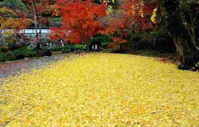 正暦寺では、見頃を終えて落葉した葉の美しさも必見です。折り重なるようにイチョウの葉が境内に積もる様子は、まるで地面に黄色の絨毯を敷き詰めたかのようです。