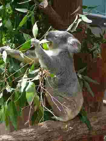コアラが食べるユーカリの種類は限られていて40種くらい、それも新芽しか食べません。種類によって毒素の量が違うため、嗅覚によって嗅ぎ分けています。コアラってグルメなんですね。