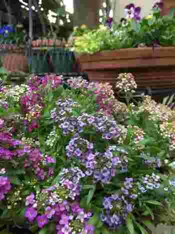 小さなお花がたくさん集まった姿がかわいらしいスイートアリッサム。ほかのお花との寄せ植えにもぴったりです。横に広がっていくので、グランドカバーにも向いています。