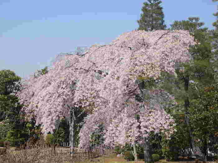 知恩院では、三門だけでなく境内にも数多くの桜が植樹されています。ソメイヨシノ、山桜などのほかに枝垂れ桜も植樹されており、満開の花びらで参拝者を魅了してくれます。