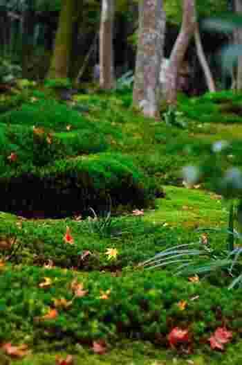 「祇王寺」は、苔庭の素晴らしさで知られる寺院。初夏の頃は、新緑と苔、竹林が織り成す緑の景色を目指して、多くの観光客が訪れます。でもその魅力は、清々しい緑の季節が過ぎても失うことはありません。カエデやモミジが色付き、秋が深まるとともに、一層輝きを増していきます。