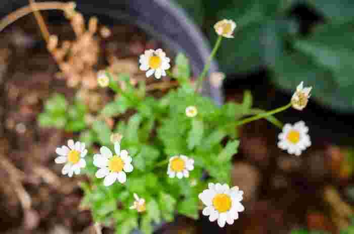 華やかさはなくてもいいんです。みんながみんな「素敵」と声をかけてくれなくてもいいんです。自分で愛情をかけて育てた花は、きっとあなたに達成感とかけがえのない「癒し」を届けてくれるでしょう!
