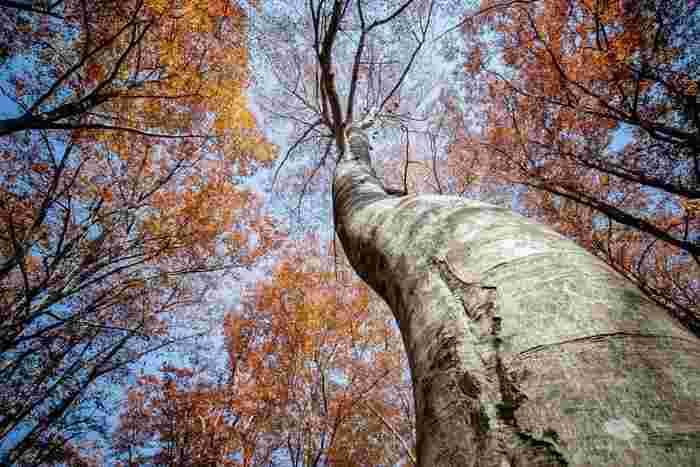 さらさらとした手触りのブナは木材に不向きだったため、伐採されずに残されているんだとか。