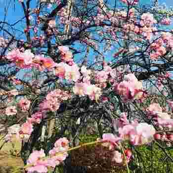 梅の名所として知られる「羽根木公園」は、この季節にぜひとも訪れたい場所♪梅ヶ丘駅から徒歩5分ほどのところにあります。