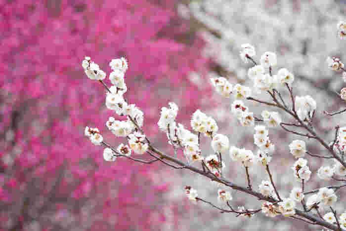 桜よりも一足早く春の訪れを告げる梅。可憐で香りの良い花にふさわしく、「高潔」「上品」「忠実」「忍耐」などの花言葉が付いています。また、紅梅の花言葉は「あでやかさ」「優美」、白梅は「気品」「澄んだ心」です。大木のイメージがある花ですが、ギフトにはテーブルサイズの盆栽が人気です。
