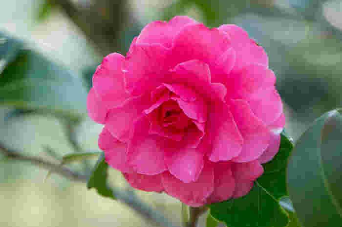 「つばき・さざんか園」には、江戸椿や肥後椿など約250種、620本もの椿が植えられています。1月~3月に見頃を迎え、赤やピンク、白などいろいろな椿を楽しむことができます。