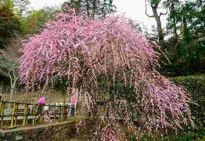 豪華な印象の枝垂れ梅も間近で見ることができます。「熱海梅園梅まつり」期間中は、足湯や、日によって落語などのイベントも楽しめます。
