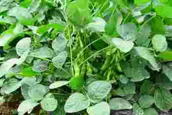 大豆と野菜が含む栄養をいいとこどりしたような枝豆は、タンパク質やビタミン、ミネラル、食物繊維、鉄分などを豊富に含みます。