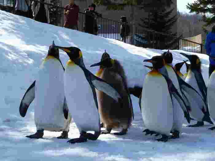 最近では動物園で、大人向けの動物園の楽しみ方のガイドやイベントが行われているようです。日程があえば、参加してみるのもよい体験になりそう。もちろんショーも動物園の醍醐味! 北海道の「旭山動物園」では雪が積もった冬場のみの開催でペンギンちゃんたちのお散歩をしているそう。癒やされますね♪