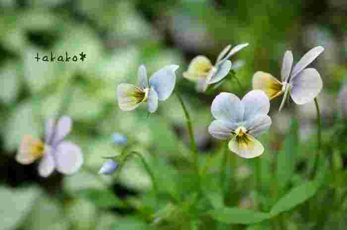 スミレ科スミレ属。パンジーと見分けるポイントは、花の直径が5cm以上あるものをパンジー、それ以下のものをビオラと分けるのが一般的とされています。