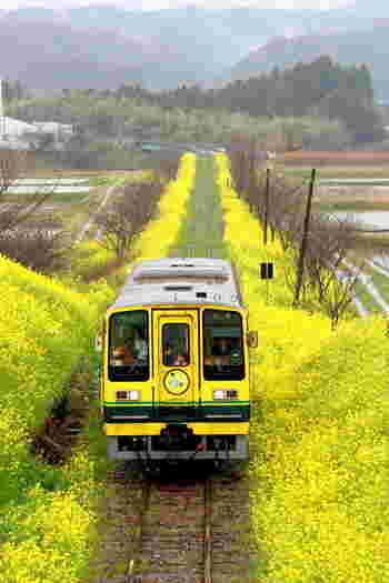 旅のおすすめは、菜の花が咲く3月中旬~4月中旬です。 全線26.8キロのうち約15キロで開花しますので、ほぼ全線にわたり黄色いじゅうたんの上を走ることになります。 地元のボランティアさんが種まき・草刈をし、丁寧に手入れをしてくださっているので、美しさは一級品です。