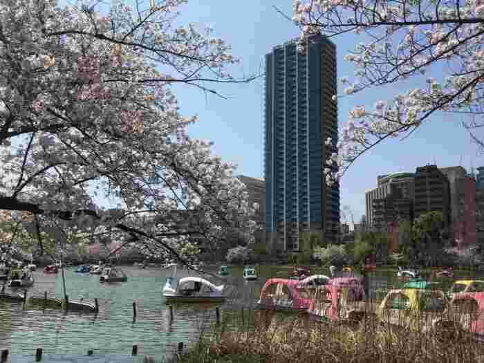 公営なので安価で利用できるだけでなく、ボートも、足漕ぎのスワン型やクラシカルな手漕ぎ型とあるので、好みや員数に応じて選べます。【「不忍池」周辺は、桜の季節でも比較的のんびりしたムード。】