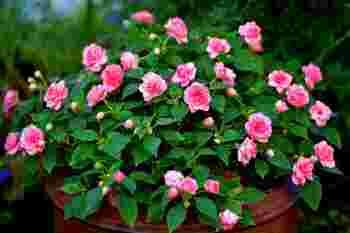 インパチェンスの花言葉は『豊かさ・鮮やかな人』  初心者でも育てやすく、初夏〜秋にかけてたくさんの花を咲かせます。