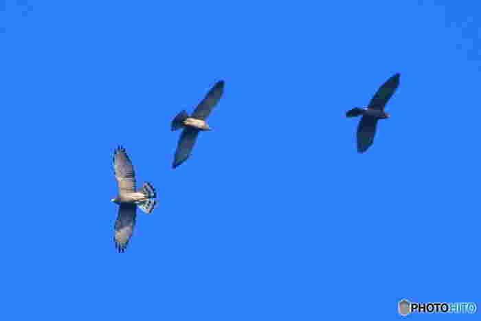 鷹たちは、春から夏にかけて乗鞍高原で子育てをします。そして越冬のために初秋になると南国へ渡ってゆきます。季節によっては、白樺峠では、サシバ、ハチクマなどの大きな鷹たちが大空を舞う様子を眺めることができます。