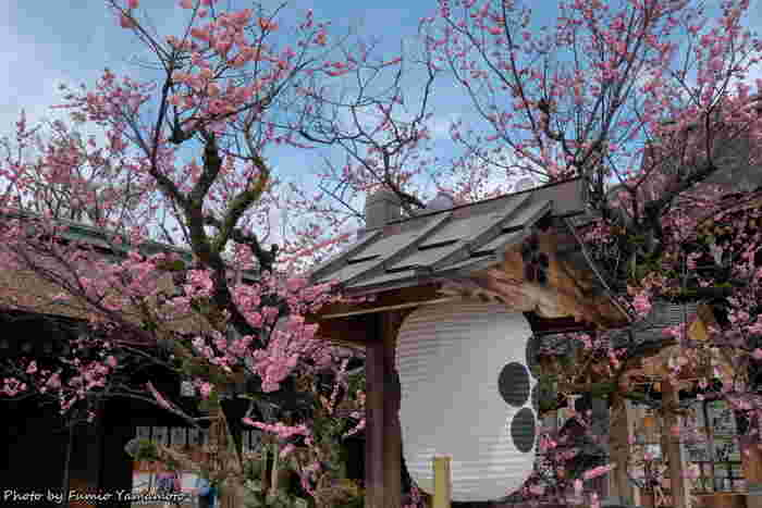 この北野天満宮は有名な参拝スポットであるだけでなく、境内に植えられた約1500本の梅の木が咲き誇る梅の名所としても有名な場所です。