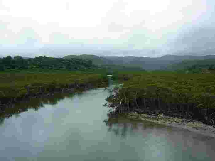 河口付近に豊かなマングローブ林を抱く仲間川は全長17.5キロメートルの川です。仲間川のマングローブ林の規模は傑出しています。国の天然記念物にも指定されている仲間川河口のマングローブ林の面積は約300ヘクタールを誇ります。