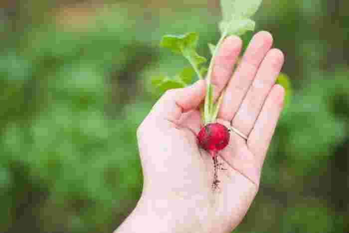 自宅に庭があるなら、まずはそこで「家庭菜園」を始めてみるのがいいですね。簡単に育てられる小松菜や小かぶやラディッシュあたりから育ててみてはどうでしょう。