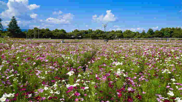 温泉地として有名な三重県桑名市に位置するなばなの里は、日本を代表する花の名所の一つで、四季折々で美しい花々が競うように咲き誇るエンターテイメント施設です。毎年秋になると、日本最大級の広さを誇る花ひろばは約150万本のコスモスが花を咲かせます。