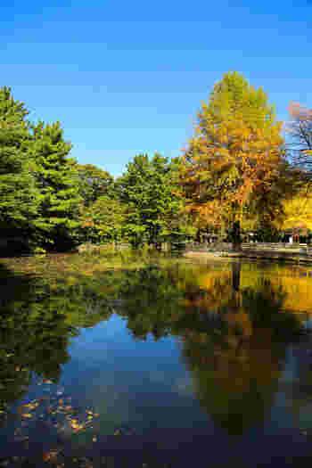 イチョウ並木があるテニスコートとバードサンクチュアリのそばには、小さな池も。イチョウの他に、ケヤキやエンジュなどもあり、秋は一面紅葉に包まれます。